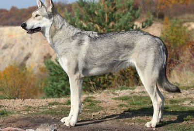 Saarloos Wolfdog Dog Breed Facts & Information