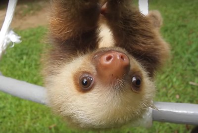 """Baby Sloth Saying, """"Mom"""" Is The Crush You Need Right Now"""