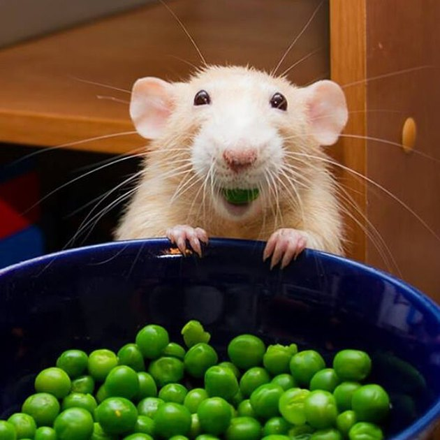 Rat eating peas