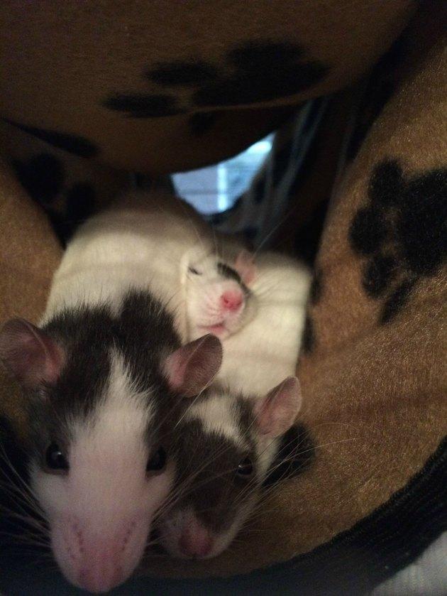 Three rats cuddling