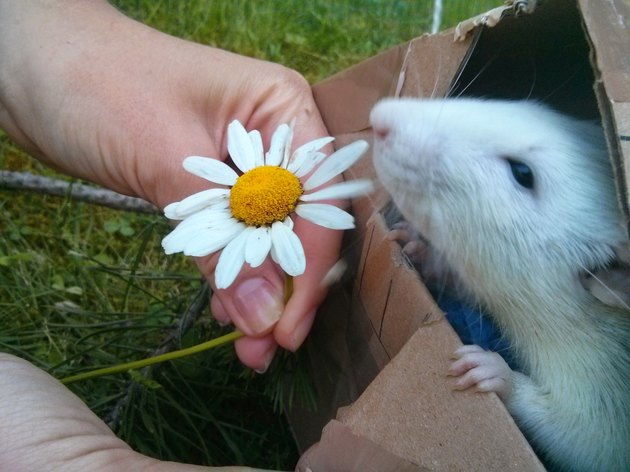 Rat sniffing a daisy