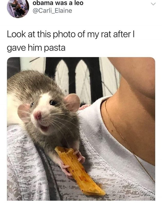 Rat eating a piece of pasta