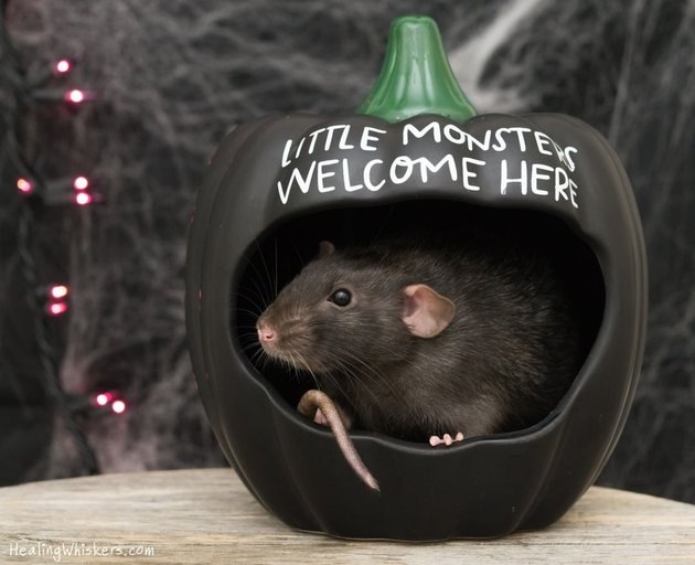 Rat curled in a pumpkin that says Little Monsters Welcome Here
