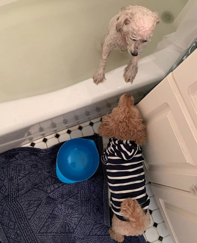 one dog in bath tub with another looking on