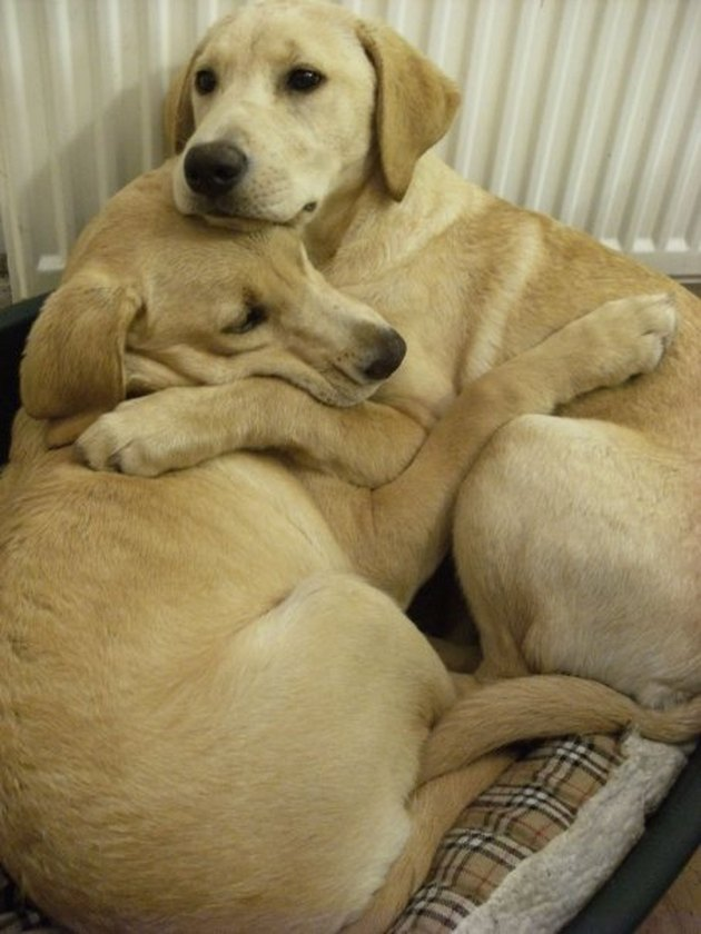 Two dogs cuddling