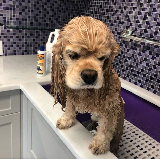 grumpy dog in bath tub