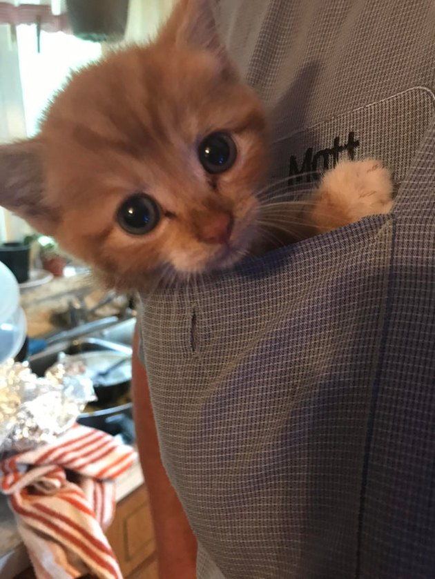 Kitten in chest pocket of chef's uniform