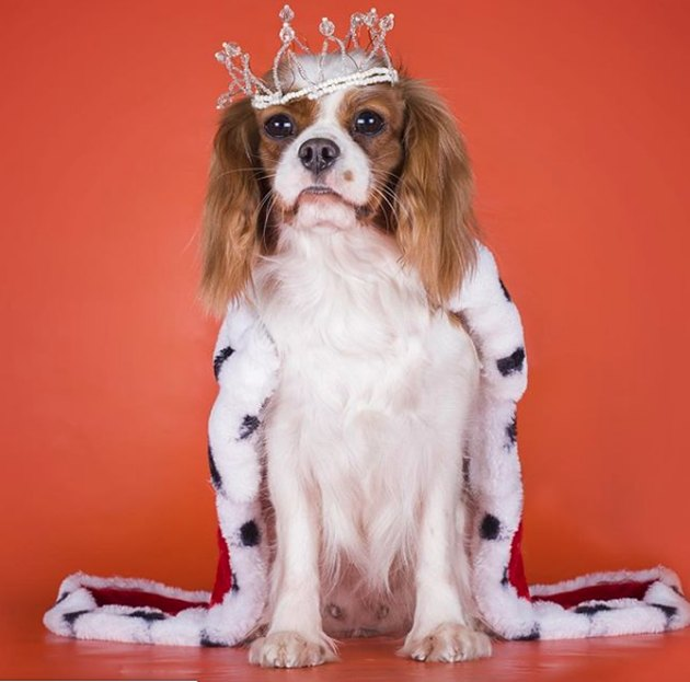 dog with crown and fur trim cloak