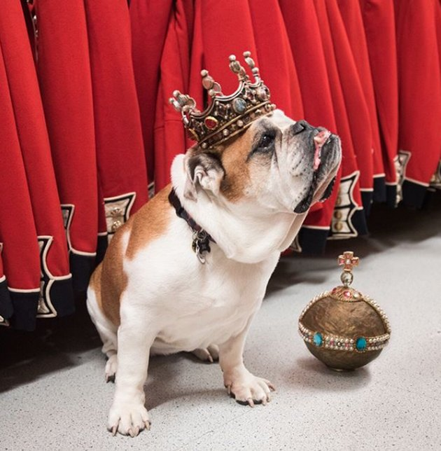 bulldog with jeweled crown