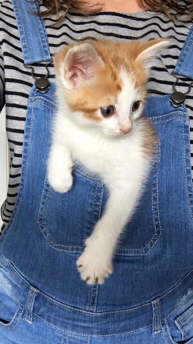 Kitten in front overalls pocket