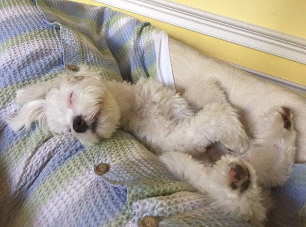 A fluffy white dog with floppy ears happily nuzzles into his blanket for nap time.