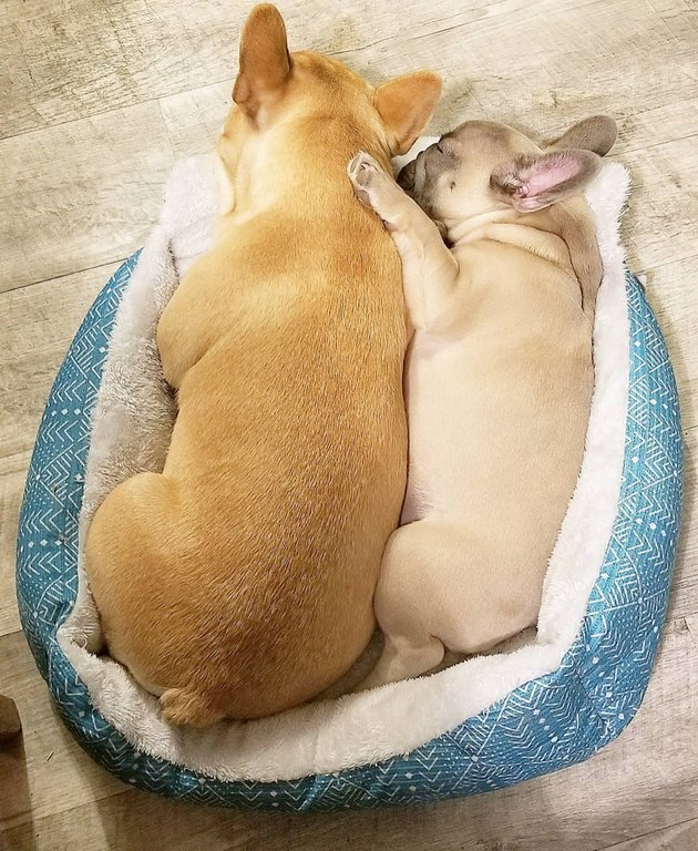 One small French bull dog spooning a bigger French bulldog as they cuddle together in a dog bed.