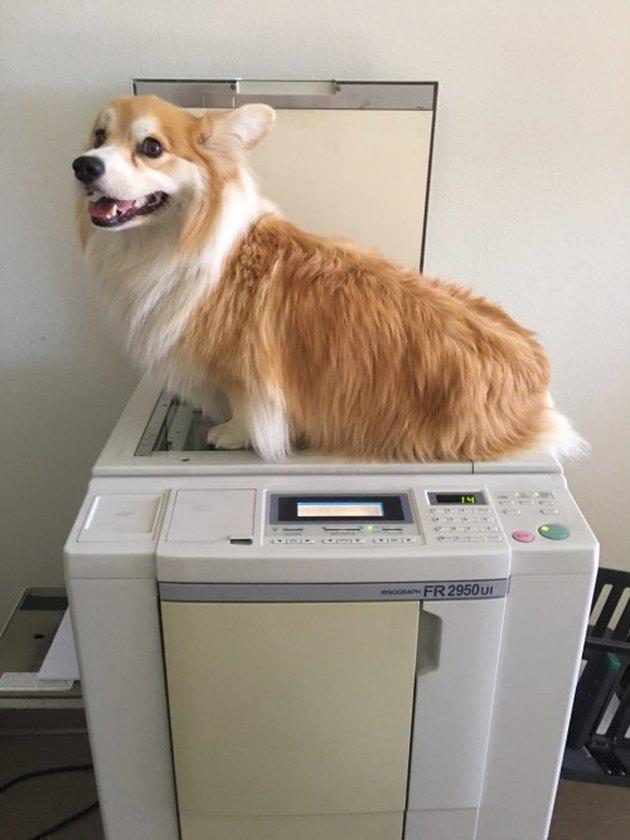 Corgi sitting on a photo copier machine