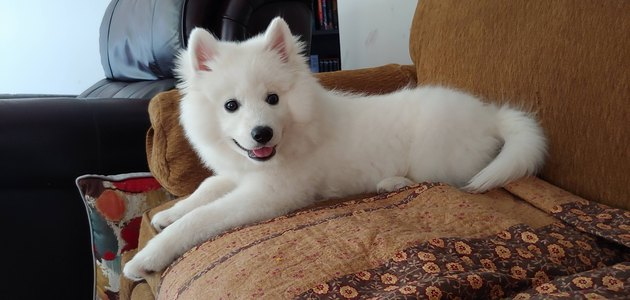 Samoyed puppy on a couch