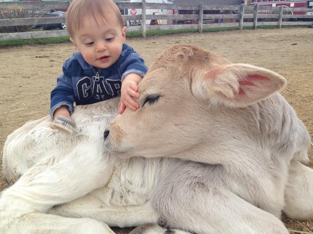 Child petting calf with long eyelashes.
