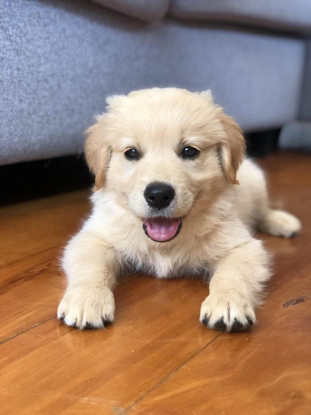 Golden Retriever puppy on wood floor