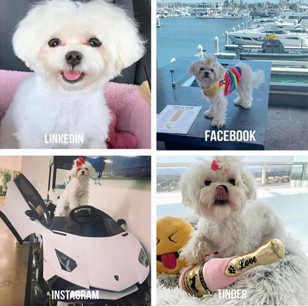 a maltese doing the dolly parton challenge