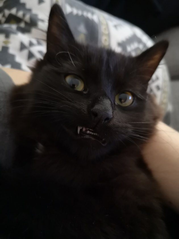 Cat with cute fangs showing