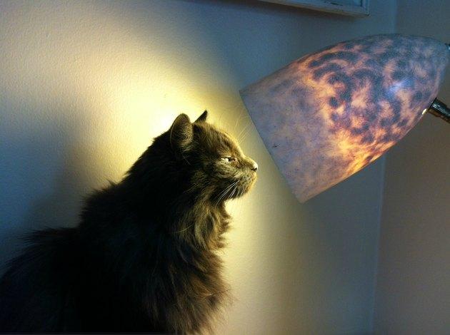 Cat gazing into a lamp