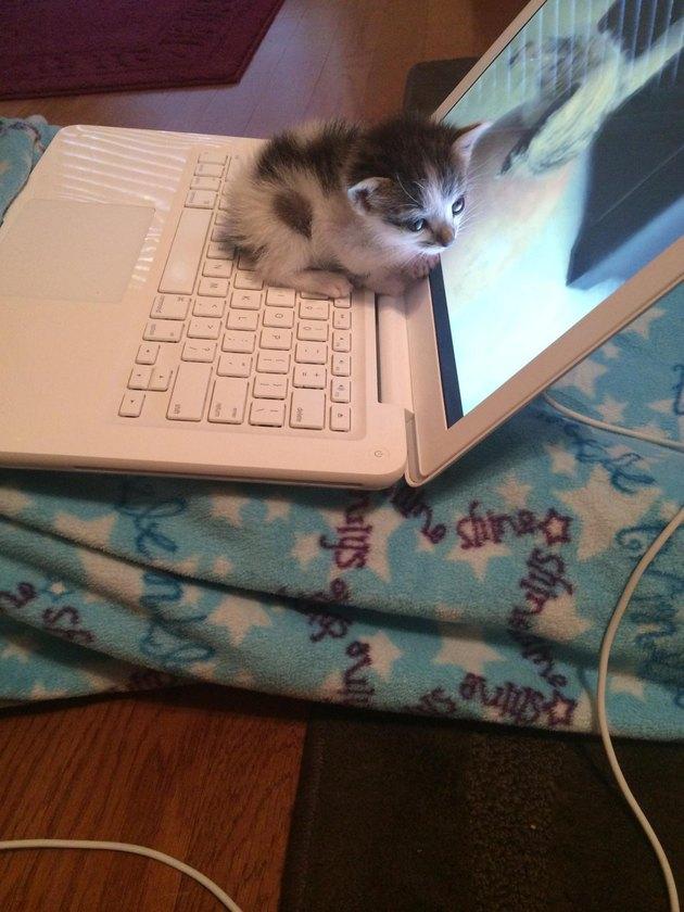 Kitten on laptop keyboard