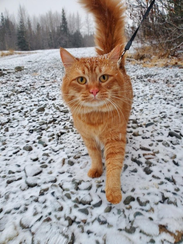 Cat walking in the snow