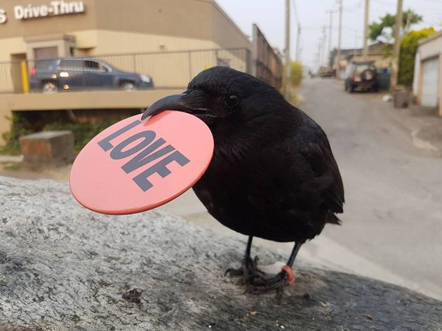Crow carrying a chip that says LOVE