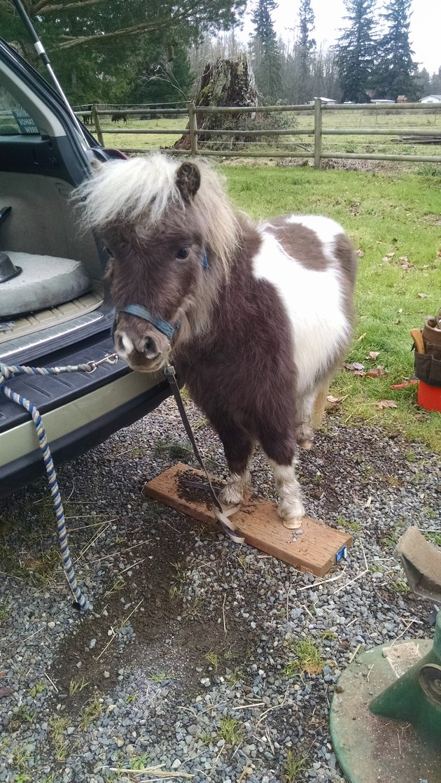 Fluffy mini horse.