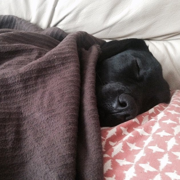 a dog with a blanket