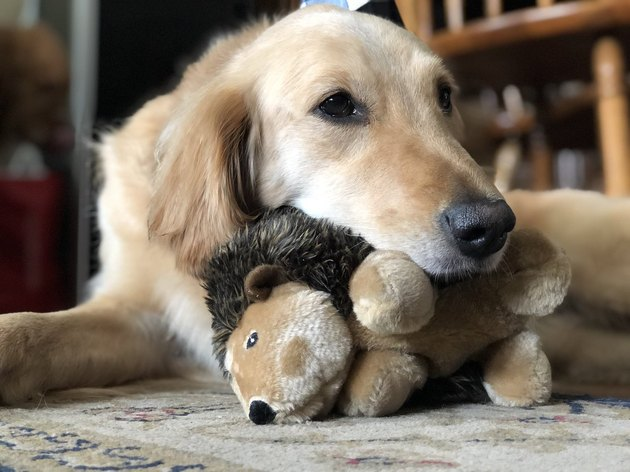 dog naps on stuffed hedgehog