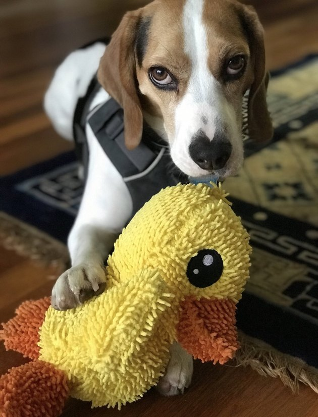 beagle and stuffed ducky
