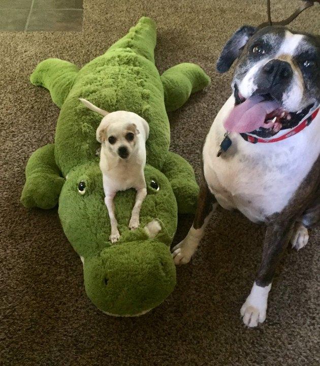 small dog sits on top of stuffed crocodile