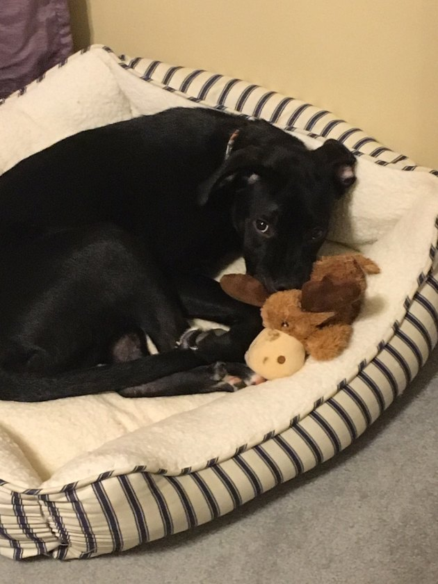 dog sleeps with stuffed moose