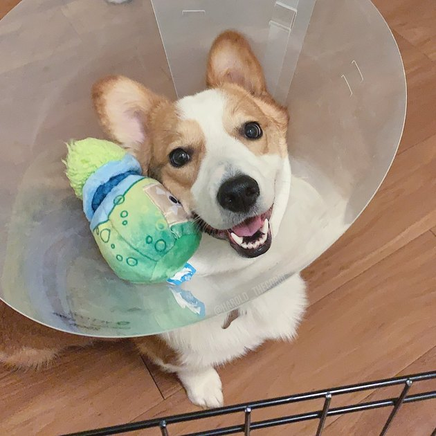 dog holds stuffed animal in cone of shame