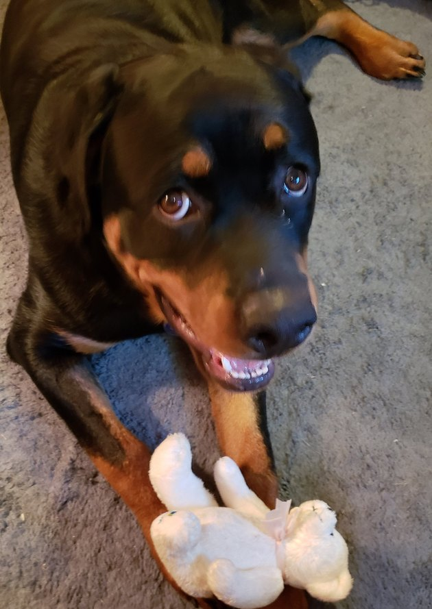 dog with guilty expression chews on stuffed bear