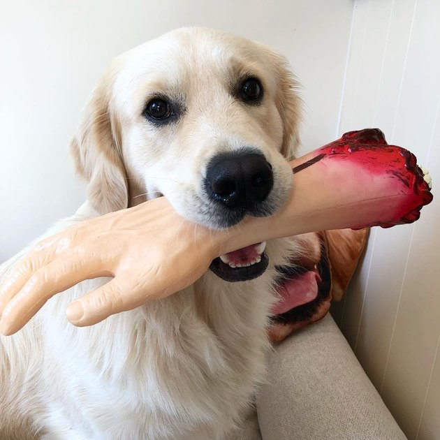 dog with fake arm in its mouth
