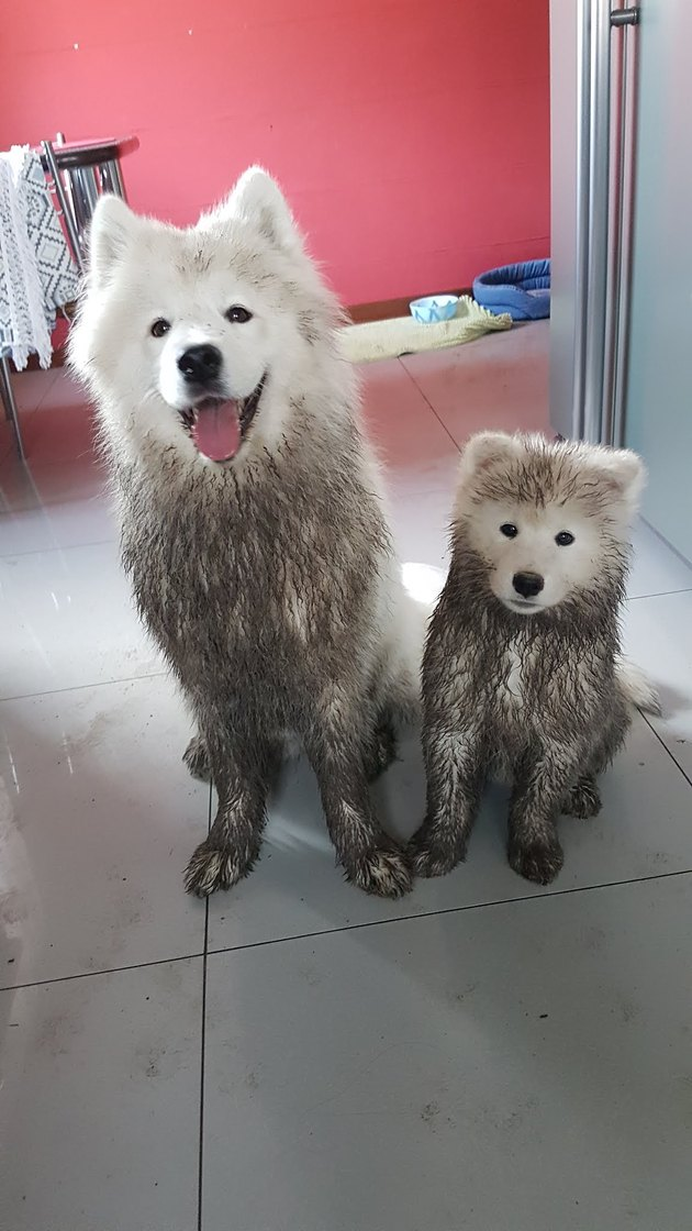 Two very muddy white dogs