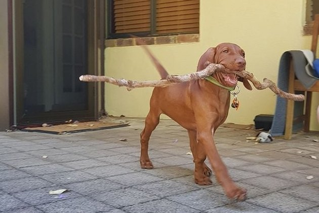 puppy with big stick in mouth