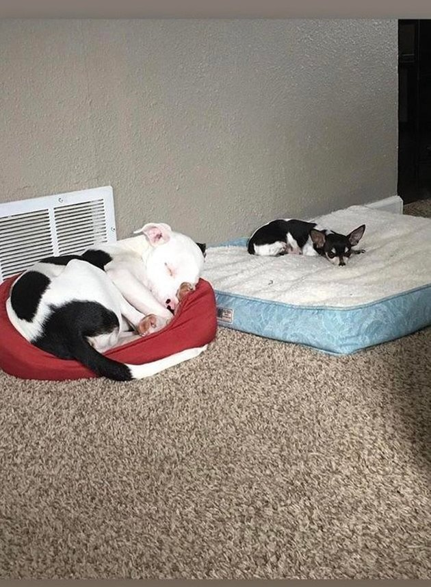 Big dog in little bed next to little dog in big bed.