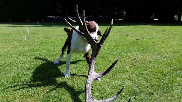 small dog with antler in mouth