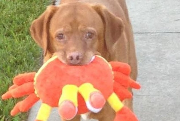 dog with large crab toy in mouth