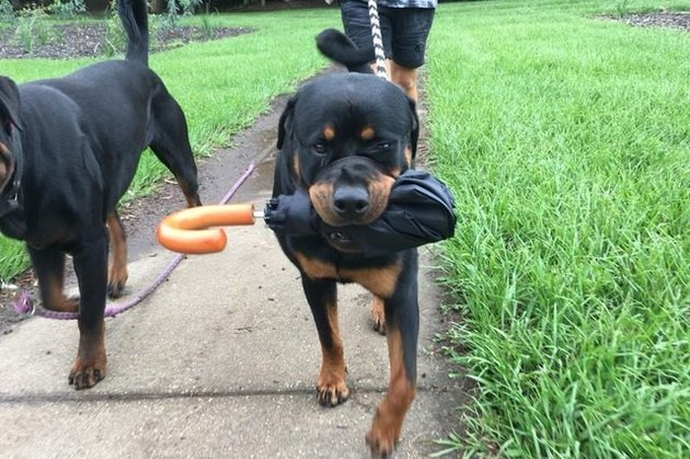 Rottweiler with umbrella in mouth