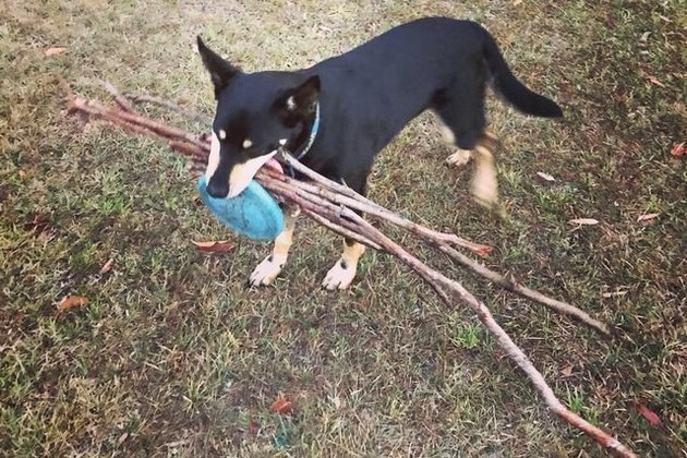 dog with large bundle of sticks in mouth
