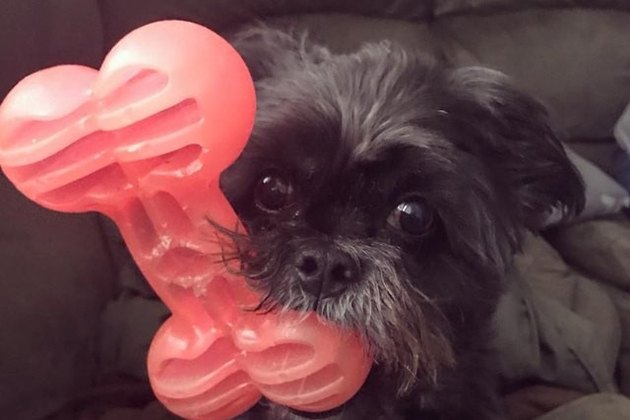 small dog with large bone