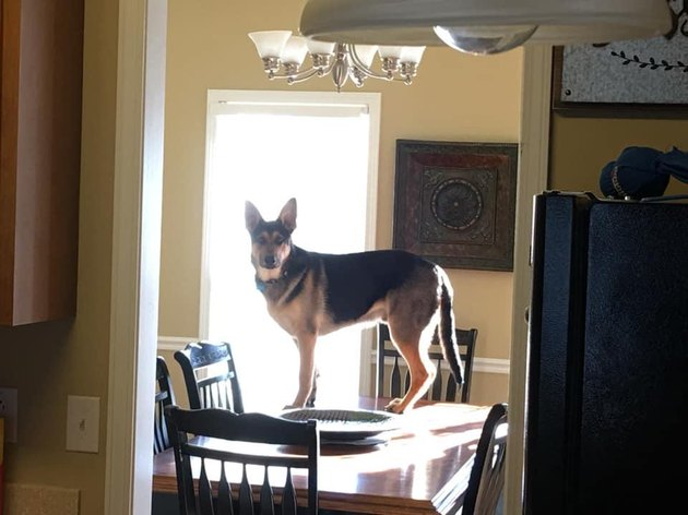 Dog standing on a kitchen table