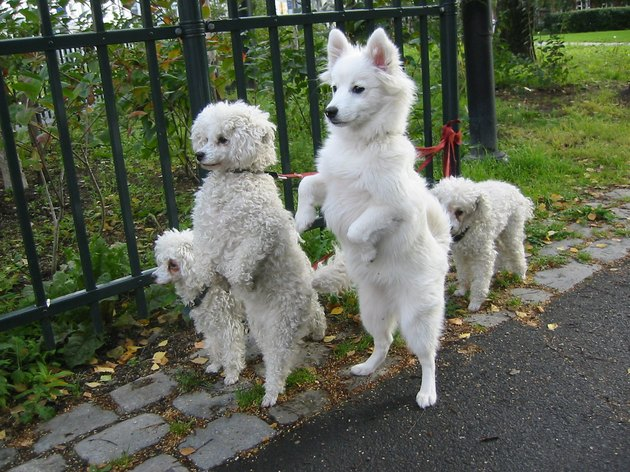 Small white dogs standing on their hind legs