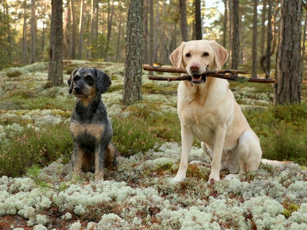 Two dogs, one of them holding two sticks