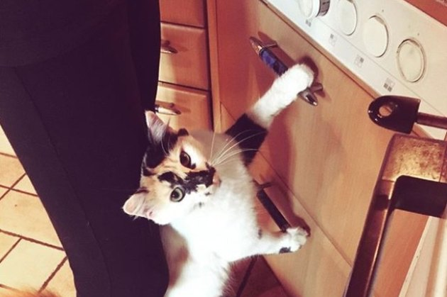 cat standing on back legs in kitchen
