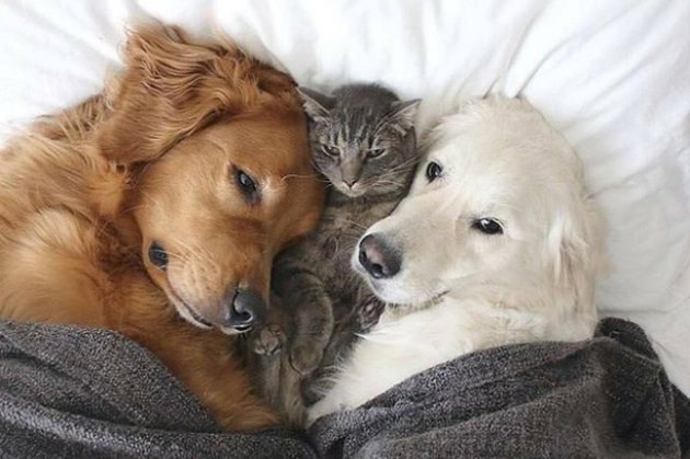 cat cuddling with two dogs in a bed
