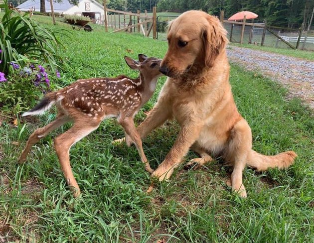 Fawn sniffing a concerned dog