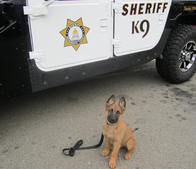 Puppy standing next to police car
